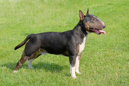 Bull Terrier as the most aggressive dog breeds