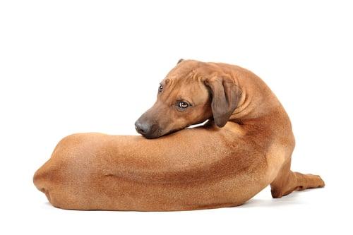 Rhodesian Ridgeback as the most aggressive dog breeds