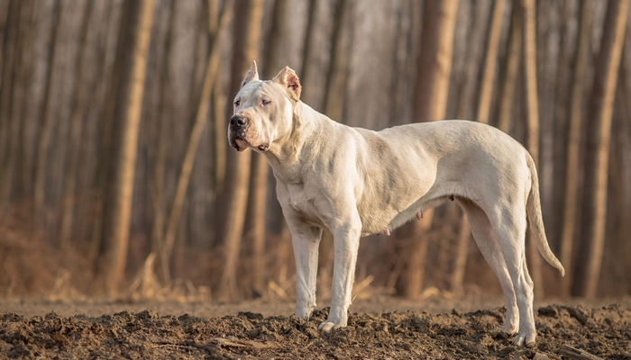 Dogo Argentino as the most aggressive dog breeds