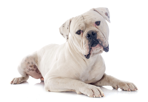 American Bulldog as the most aggressive dog breeds