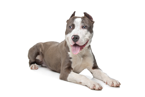 Pit Bulls are the most aggressive dog breeds