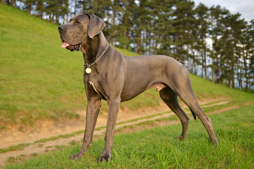 Great Dane as the most aggressive dog breeds