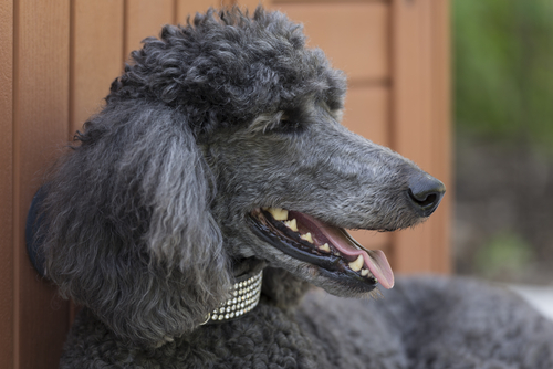 Standard Poodle as most friendly dog breeds