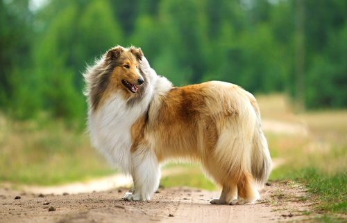 Collie as most friendly dog breeds
