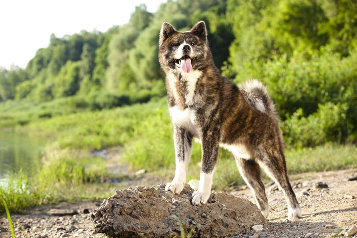 Akita Inu are one of banned dog breeds