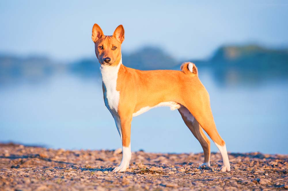 Basenji wolf dog breed