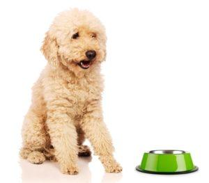 Understanding Poodle's Nutritional Needs