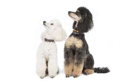 Best Dog Foods for Adult Poodles