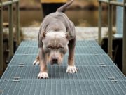 13 Commonly Banned Dog Breeds