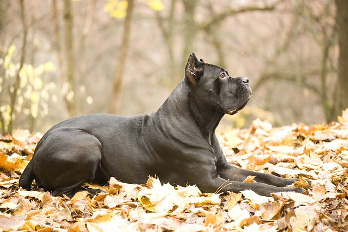 Cane Corso are one of banned dog breeds