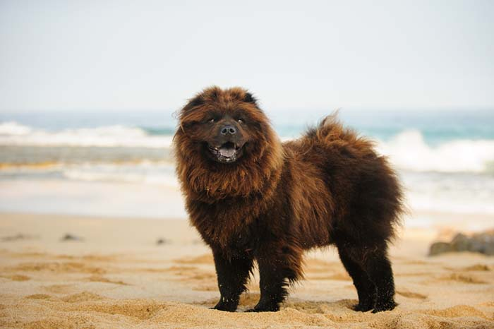 Chow Chow are one of banned dog breeds