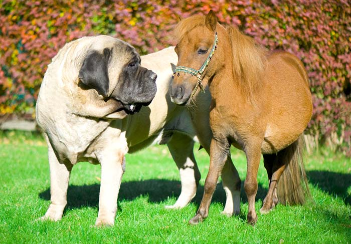 English Mastiff Short Hair Dog Breed