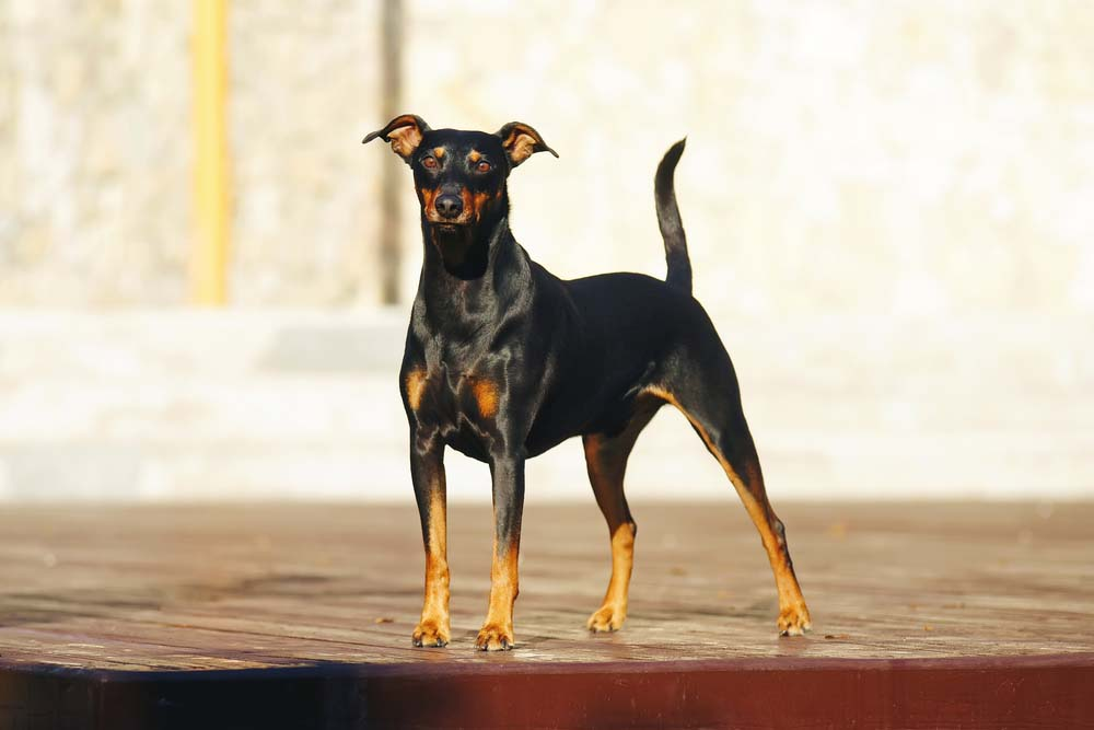 German Pinscher is one of the healthiest dog breeds