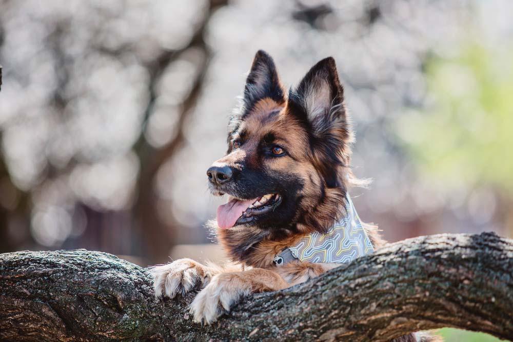 German Shepherd is one of the healthiest dog breeds