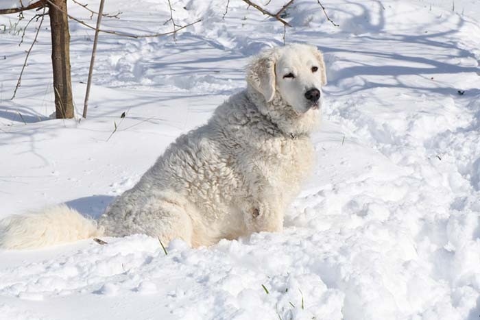 Kuvasz are one of banned dog breeds