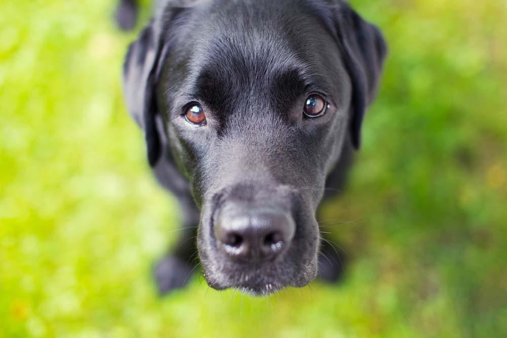 Labrador Retriever is one of the healthiest dog breeds