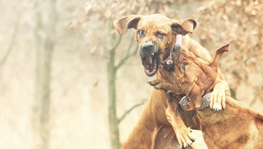 Most Popular Fighting Dog Breeds