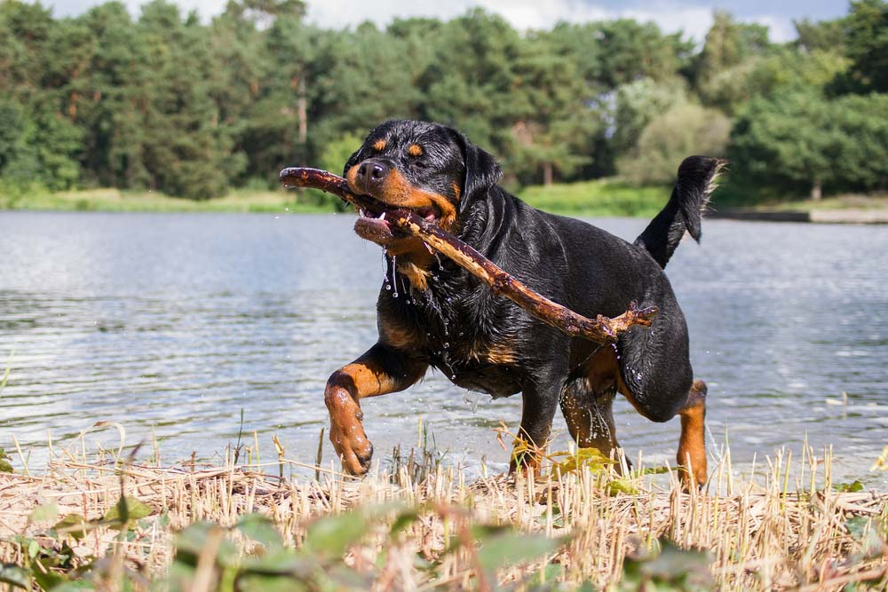 Rottweiler is one of the healthiest dog breeds