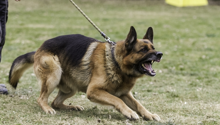 German Shepherd as the fighting dog breeds