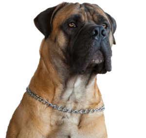 Boerboel as the fighting dog breeds