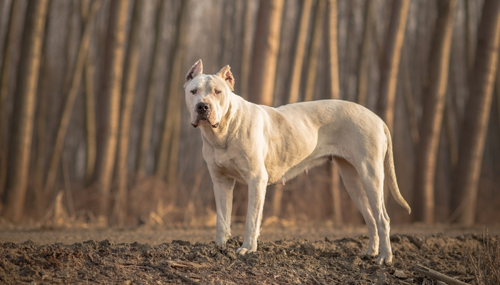 Dogo Argentino as the fighting dog breeds
