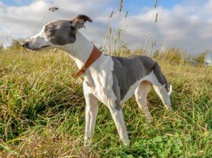 healthiest dog breeds