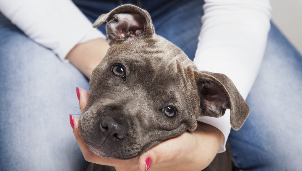 how to raise a Pit Bull