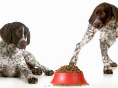 Best Dog Food for German Shorthair Pointers