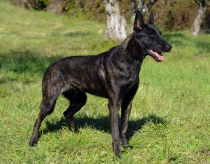 Dutch Shepard – 224 psi