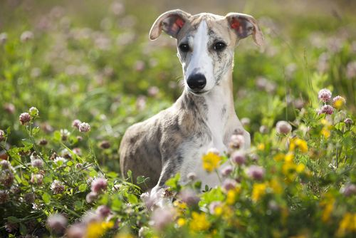Dog Breeds That Do Good In Hot Weather