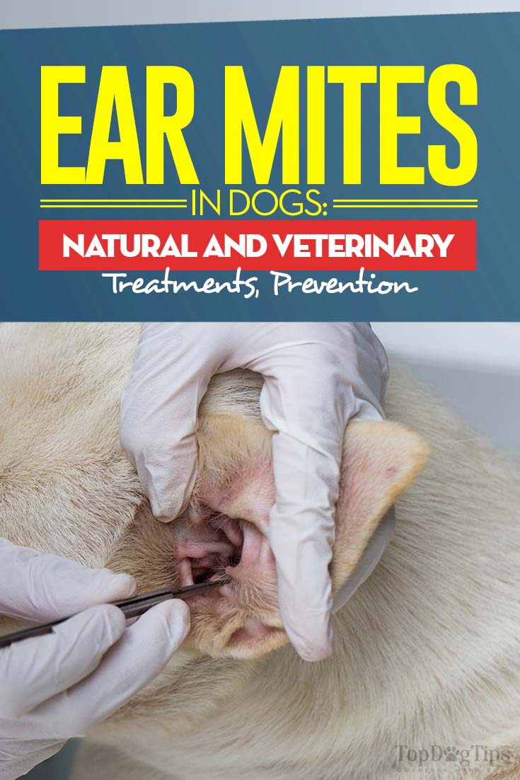 Ear Mites in Dogs: Symptoms, Natural Treatments and Prevention