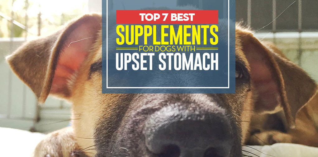 Top 7 Best Supplements for Dogs with Upset Stomach