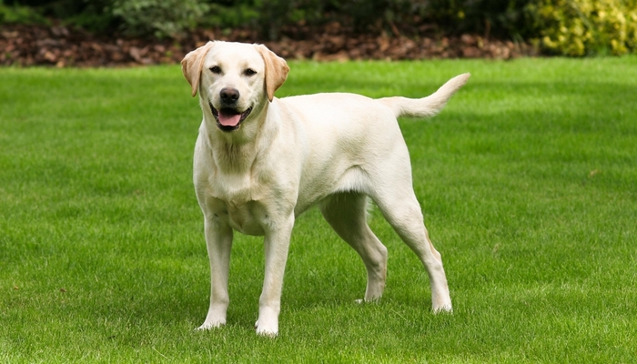 Dog Breeds Most at Risk for Hip Dysplasia