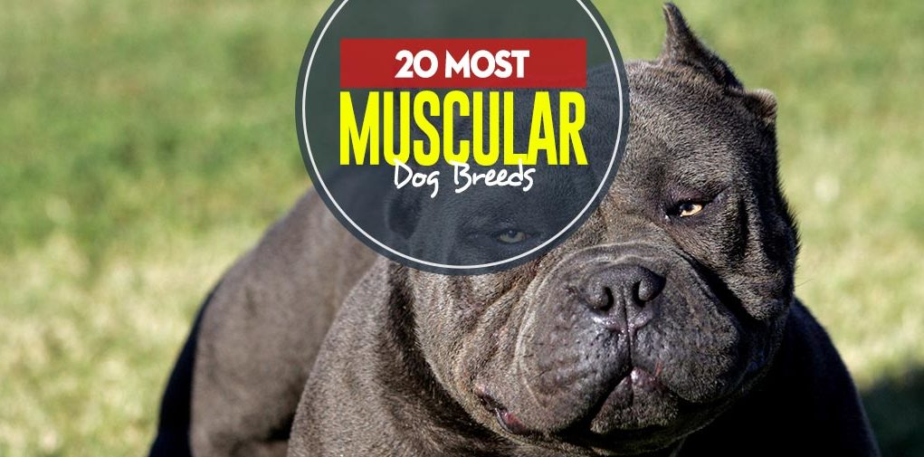 Top 22 Most Muscular Dog Breeds