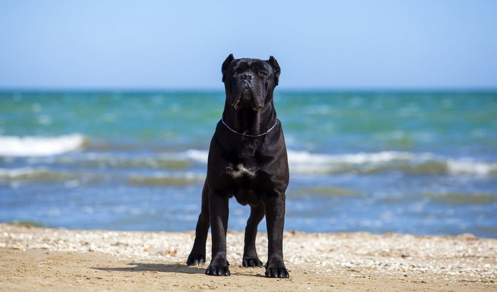 22 Most Muscular Dog Breeds