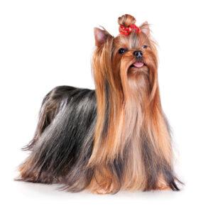 Show dog groomers