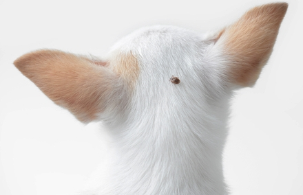 Can Dog Fleas And Ticks Infect Humans