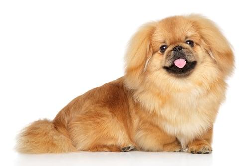 Pekingese Ancient Dog Breeds
