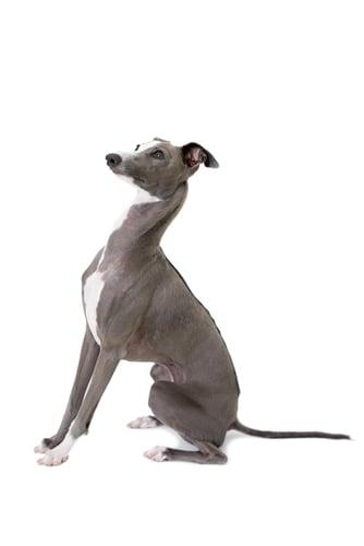 Italian Greyhound Ancient Dog Breeds