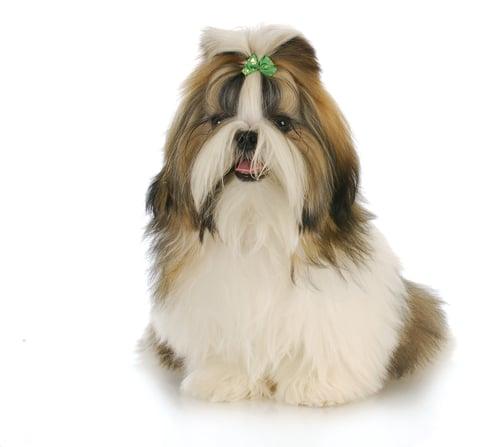 Shih Tzu Ancient Dog Breeds
