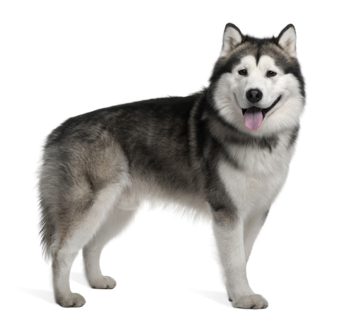 Alaskan Malamute Ancient Dog Breeds