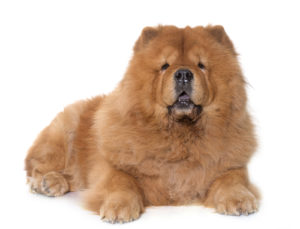 Chow Chow Ancient Dog Breeds