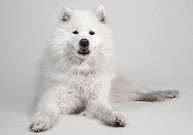 Samoyed Ancient Dog Breeds