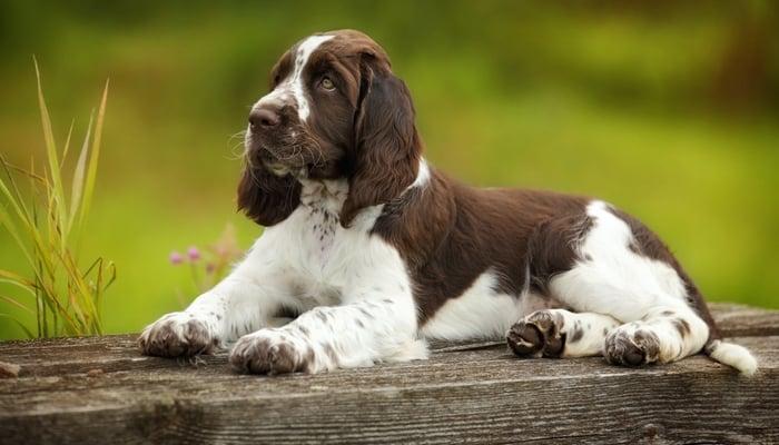 Best Dog Food for Springer Spaniels