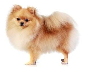 Pomeranian - Best Therapy Dog Breeds