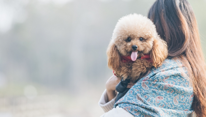 Poodle - Best Therapy Dog Breeds