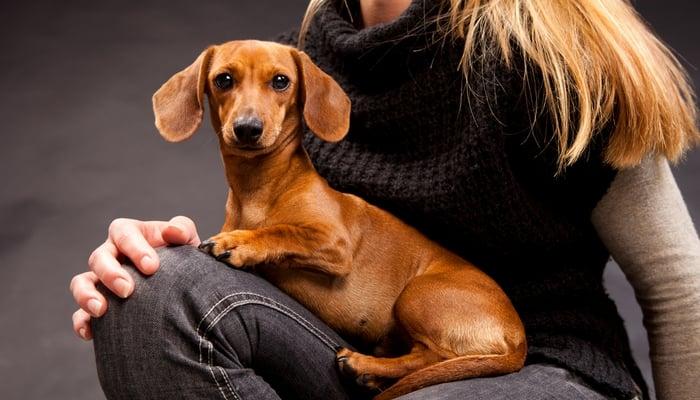 Dachshund - Best Therapy Dog Breeds