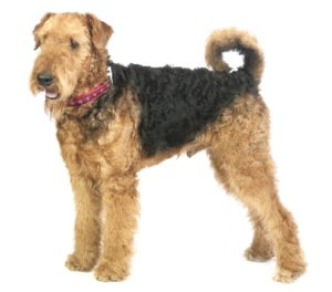 Airedale Terrier - Best Therapy Dog Breeds