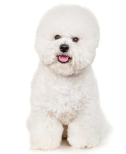 Bichon Frise - Best Therapy Dog Breeds