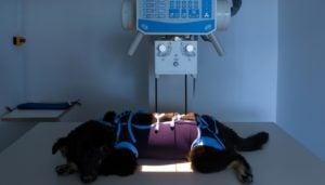 Symptoms of bone cancer in dogs